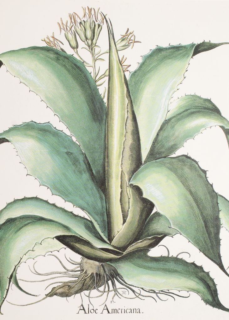 Aloe Americana