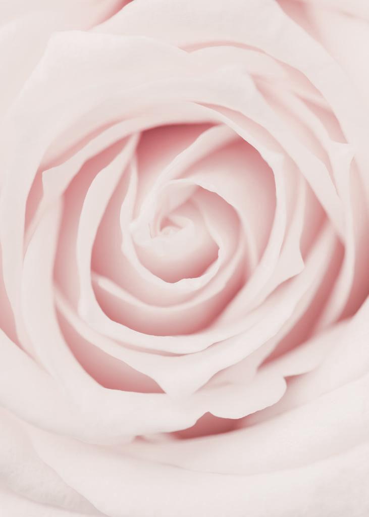 Pink Rose No 02
