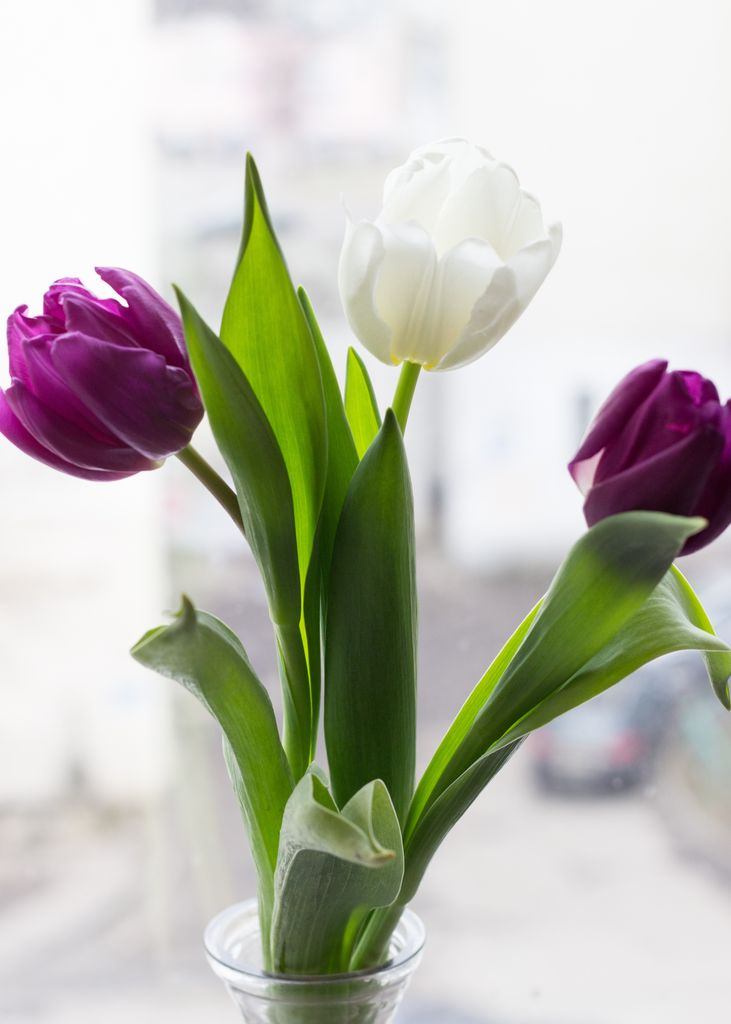 Tulip bouquet in vase