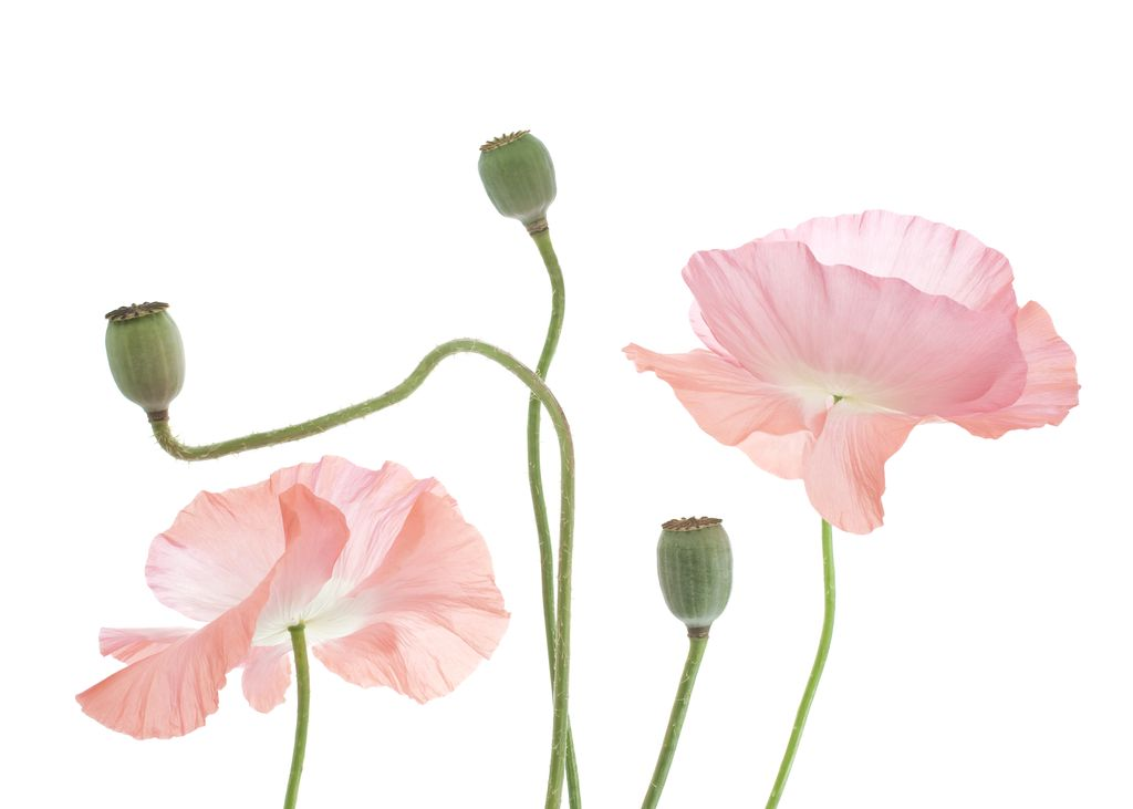 light pink poppy