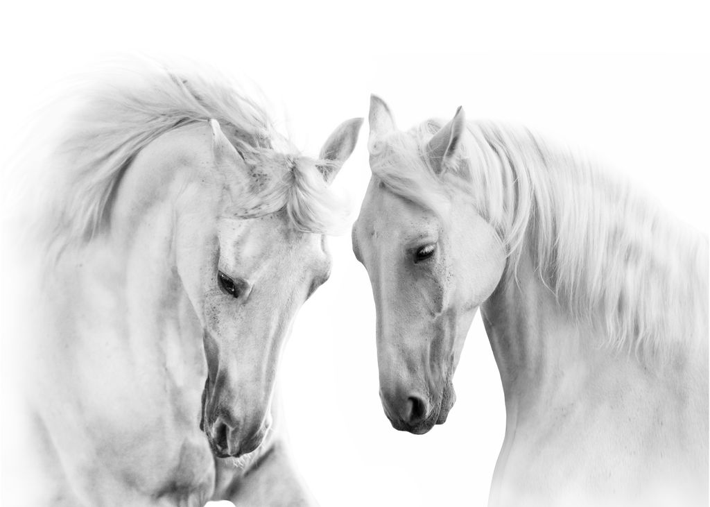 Two white beautiful horses