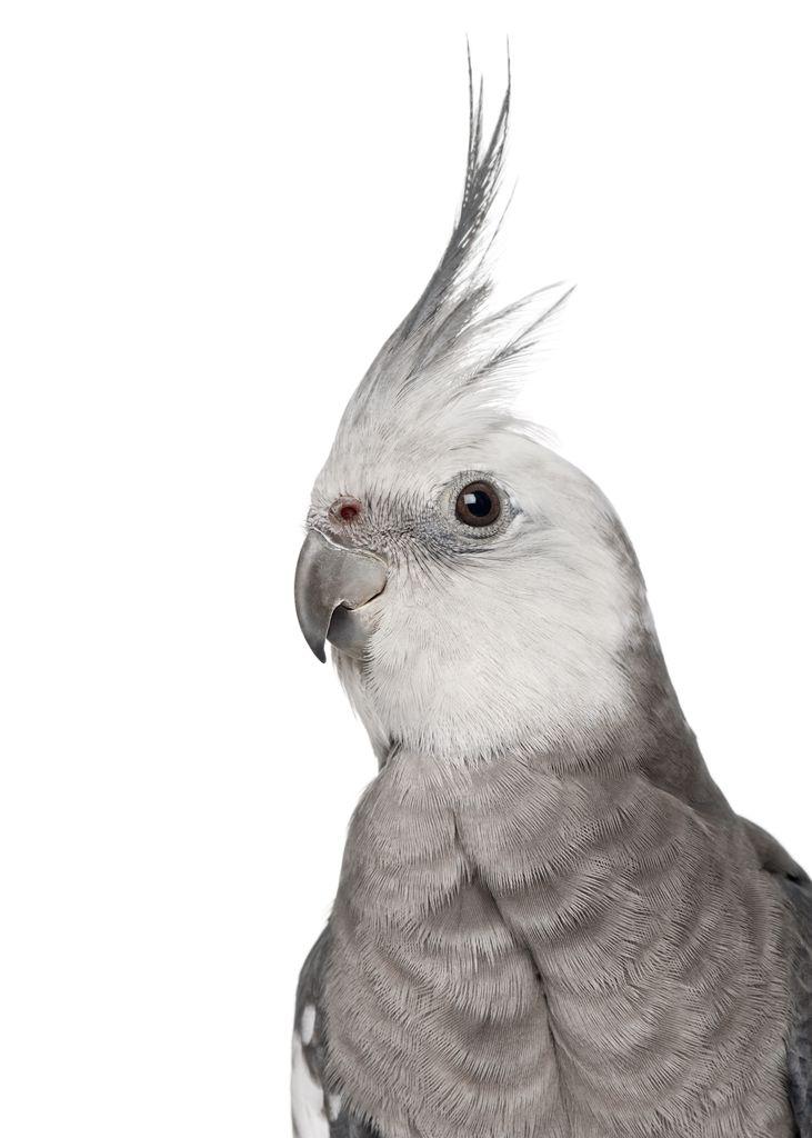 Alert parrot