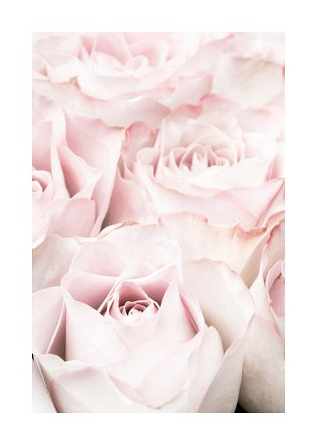 Pink Roses 05
