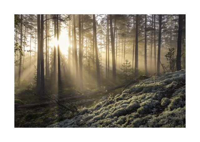 Fog in the forest with white moss in the forground