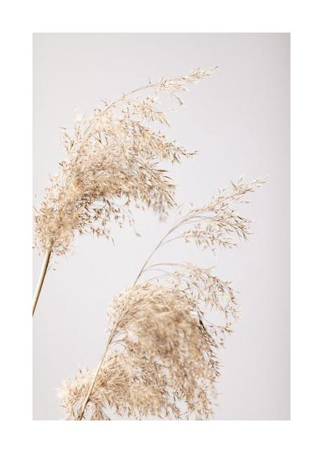 Reed Grass Grey 06