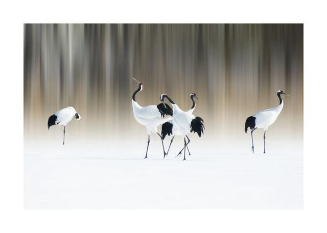 Red-crested white cranes