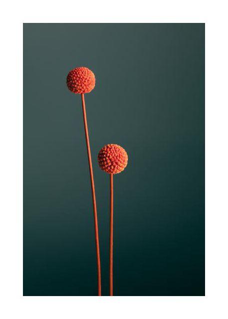 Orange Seed Capsules