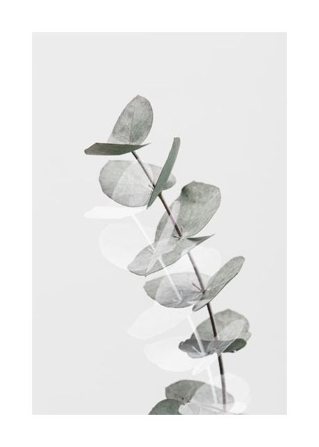 Eucalyptus Creative 05