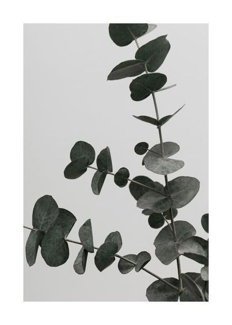 Eucalyptus Natural 05