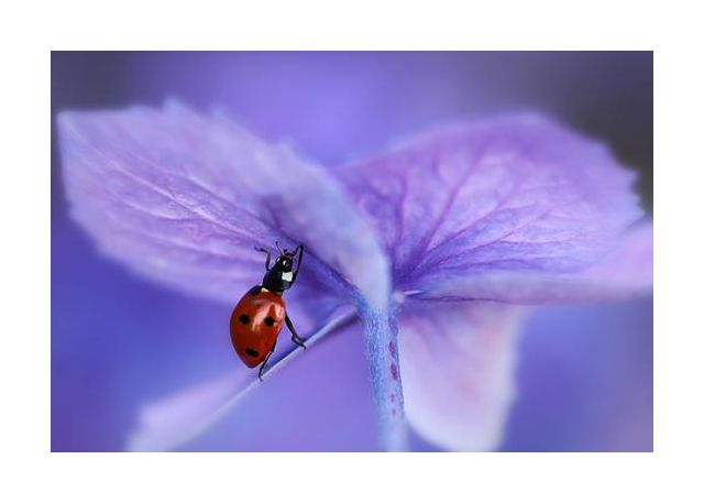 Ladybird on purple hydrangea