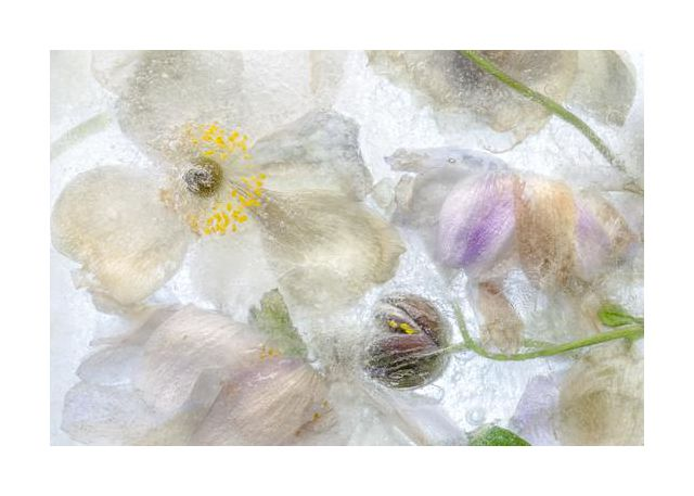 Anemone frost