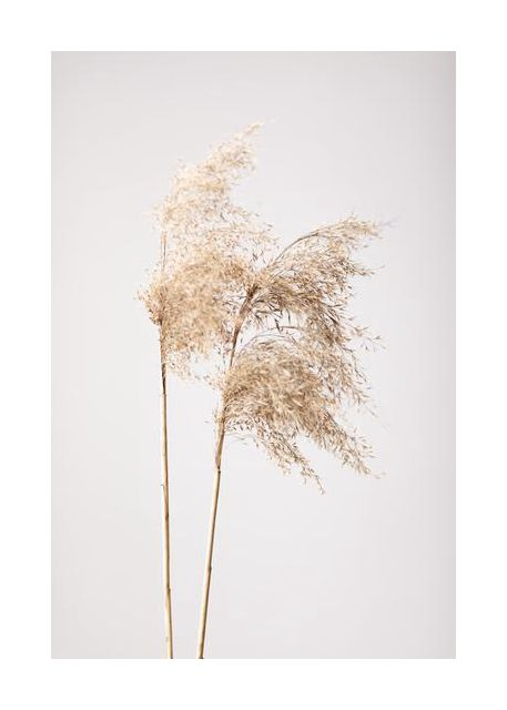 Reed Grass Grey 02