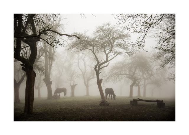 Horses in a foggy orchard