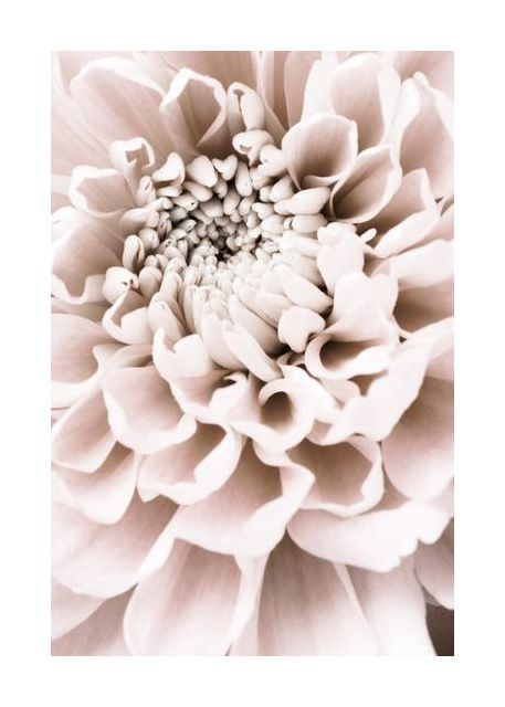 Chrysanthemum No 01