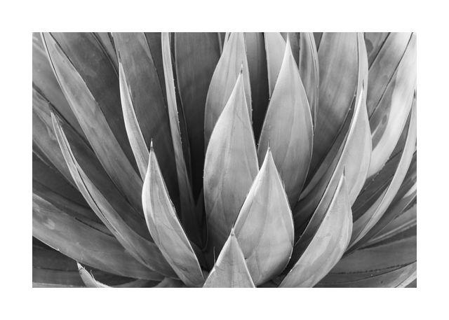 Agave leaf 2