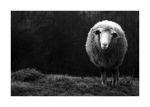Wondering sheep