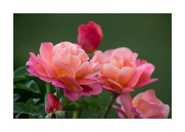 The italian roses