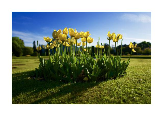A family of tulips