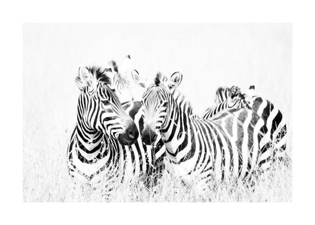 Zebras in High Grass