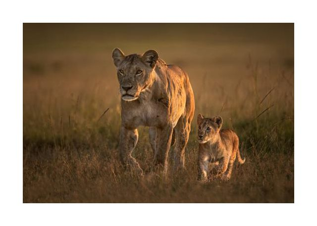 Mom lioness with cub