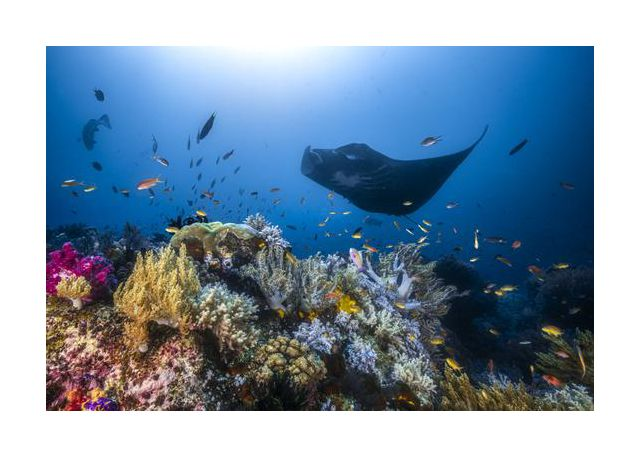 Manta reef on the reef