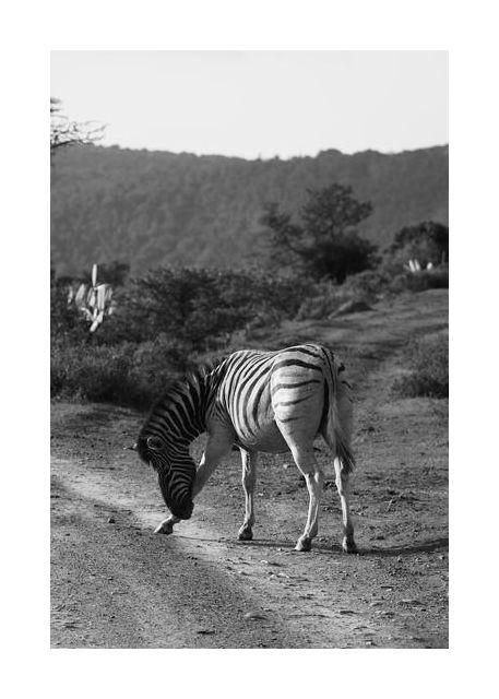 Zebra that bows
