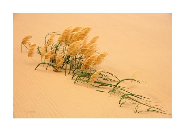 Pampas Grass in Sand Dune