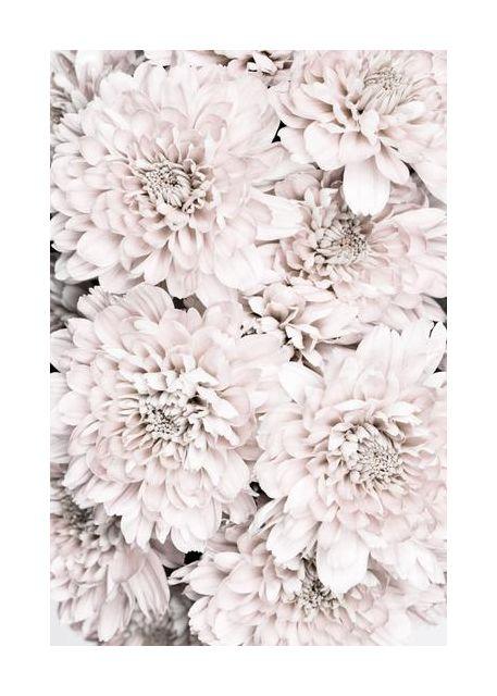 Chrysanthemum No 09