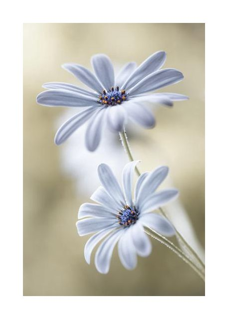 Cape daisies