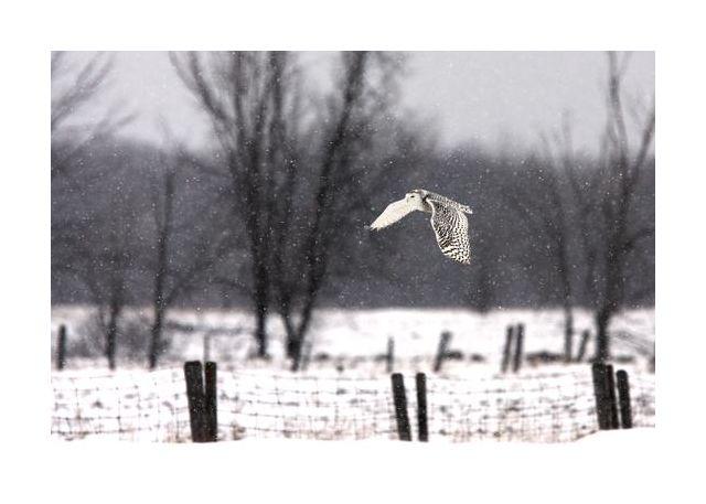 Snowy Owl flying through the snow