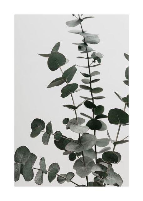 Eucalyptus Natural 07