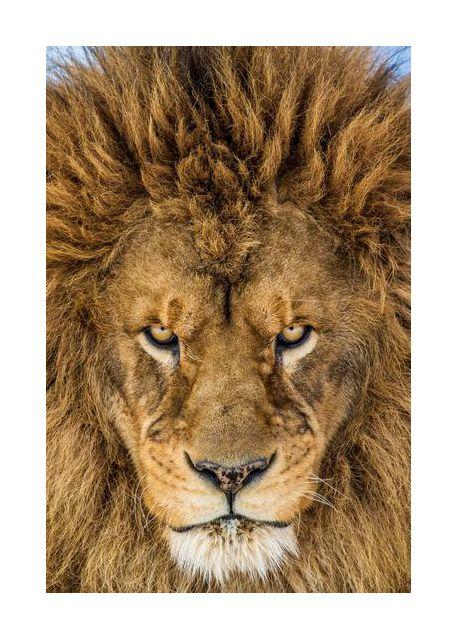 Serious Lion