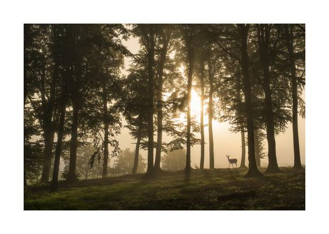 Deer in the morning mist