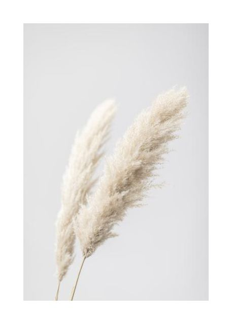 Pampas Grass Grey 13