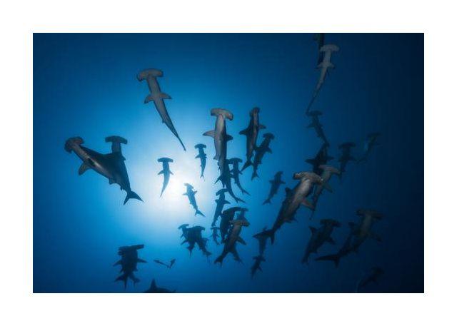 Hammerhead Shark - Underwater Photography