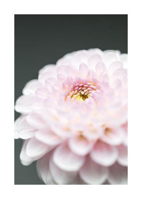Pink Flower No1