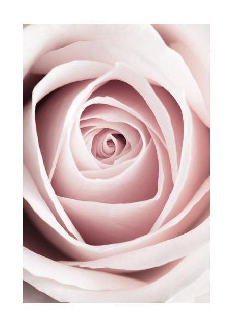 Pink Rose No 1