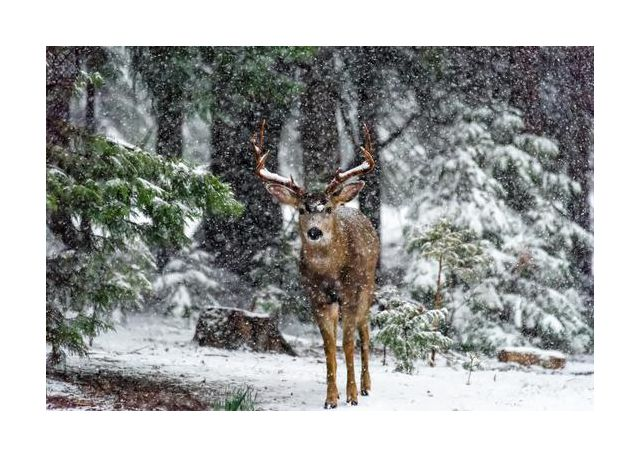 Snow Storm And The Buck Deer