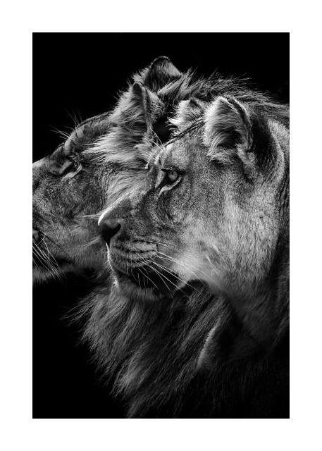 Lion and  lioness portrait