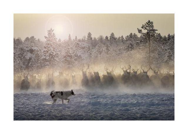 Reindeers - North of Russia