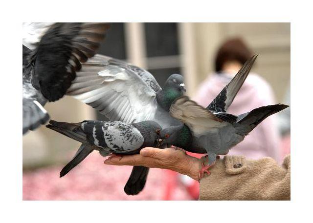 cztery golebie