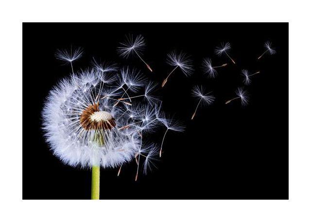 Dandelion Blowing