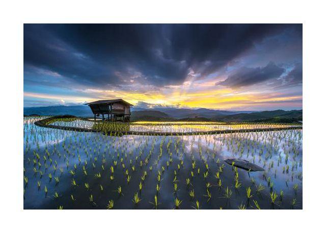 Light in rice