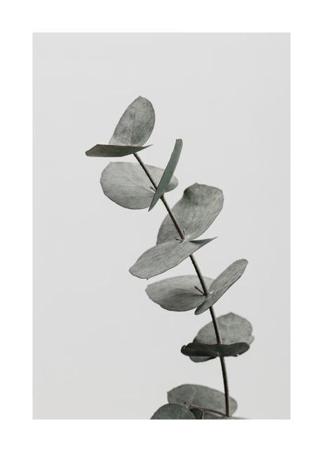Eucalyptus Natural 06
