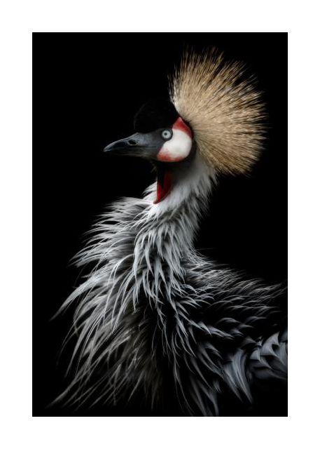 Crowned crane's portrait