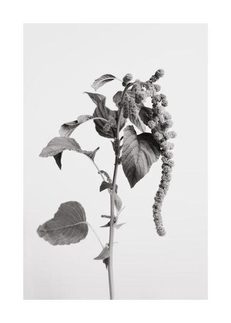 Grey Plant