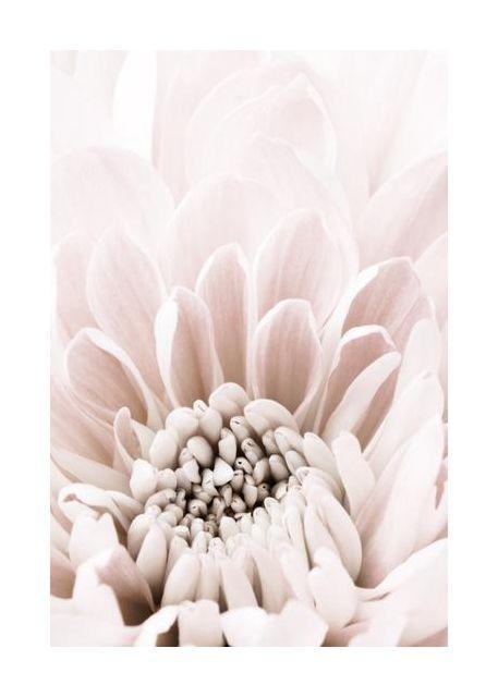 Chrysanthemum No 06