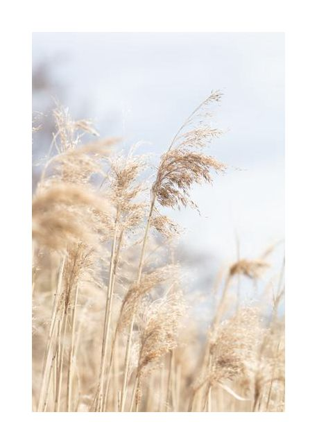 Grass Reed and sky 3
