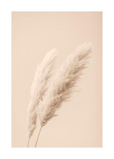 Pampas Grass Begie 15