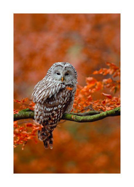 Owl in autumn tree